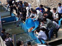Chuyên gia Nhật Bản thực hiện việc thả cá Koi xuống sông Tô Lịch